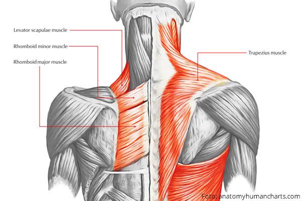 Muscolo del trapezio